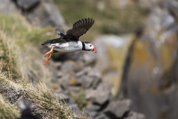 Here I go - Puffin flying out