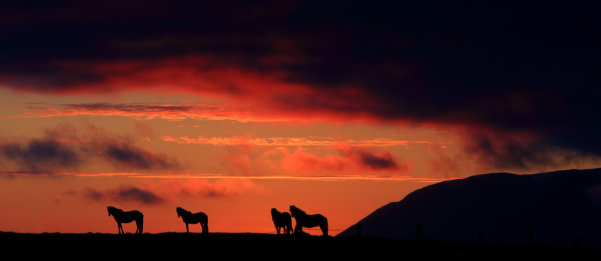 Horses in the midnight sun