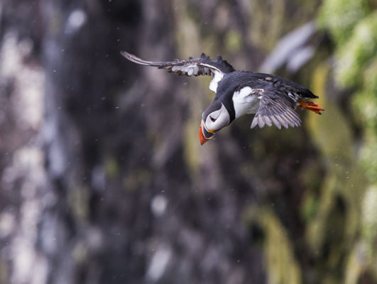 Puffin flying off