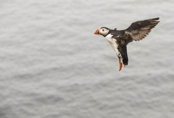 Puffin coming in